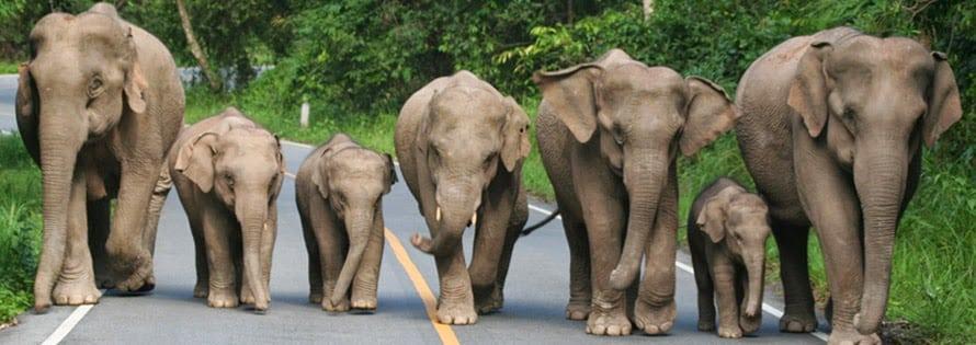 Parc National de Khao Yai - Horde d'éléphants