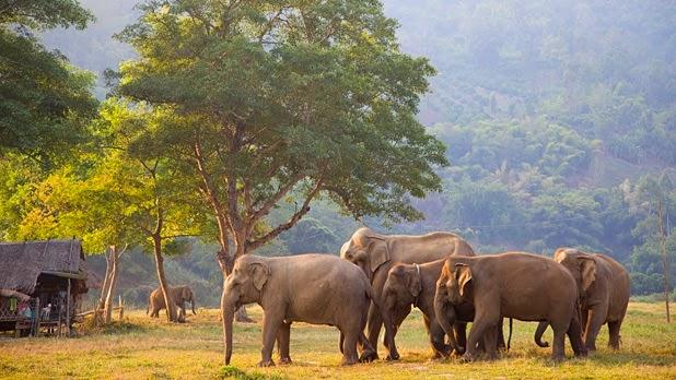 Les éléphants à Chiang Mai - Elephant Nature Park