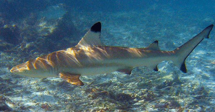 Faire du snorkeling avec les requins de Koh Tao - Requin pointe noire